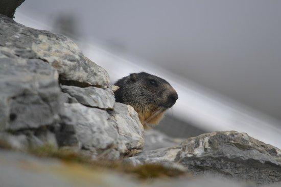 Marmottes Paradis: сурок