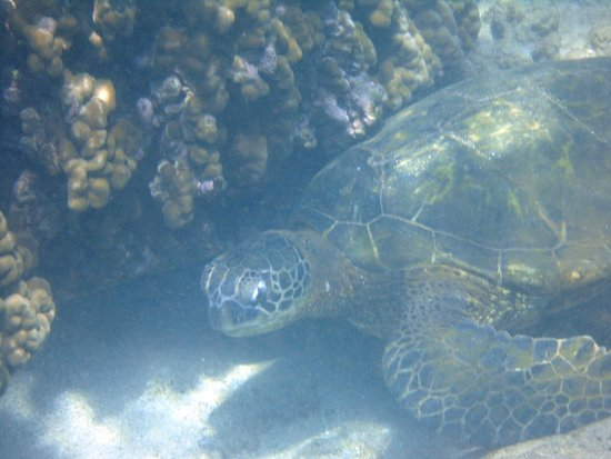 Lawa'i Beach: sea turtle