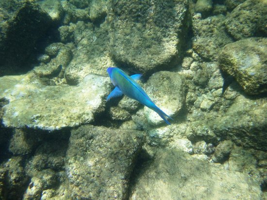 Lawa'i Beach: parrot fish