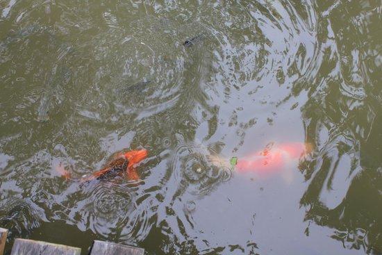 Peace Laguna Resort: рыбы в пруду