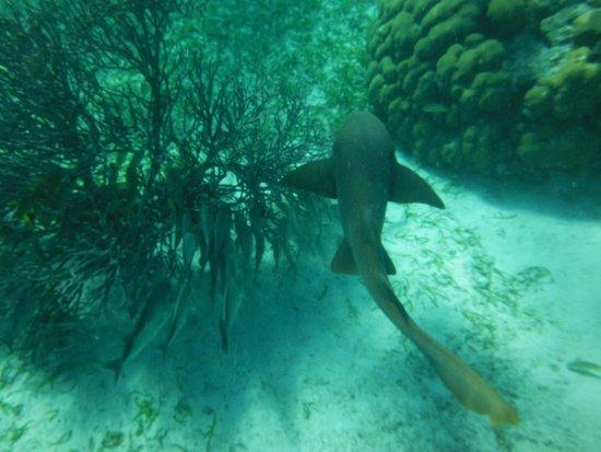 Reserva Marina Hol Chan: Yeah...it's a shark !