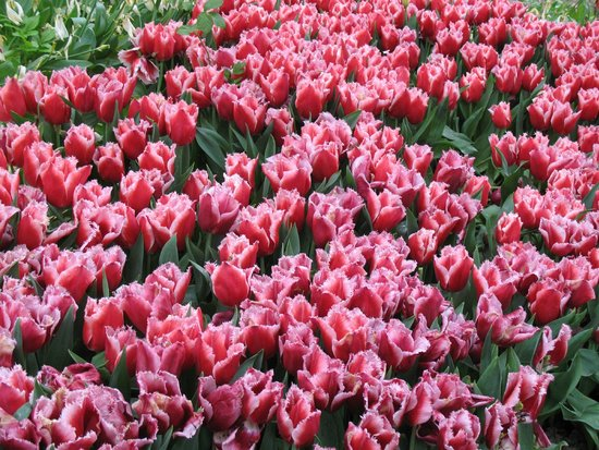 Gulhane Park: Тюльпаны парка Гюльхане