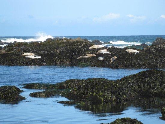 Seals at Glass Beach