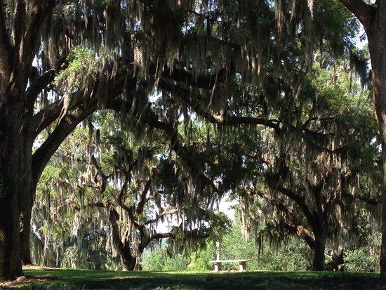 Bok Tower Gardens : Gorgeous oaks