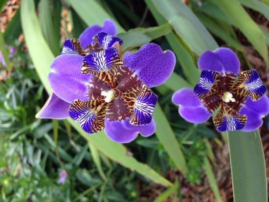 Bok Tower Gardens : African iris?