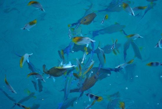 Royal Huahine: Migas para los peces al desayuno