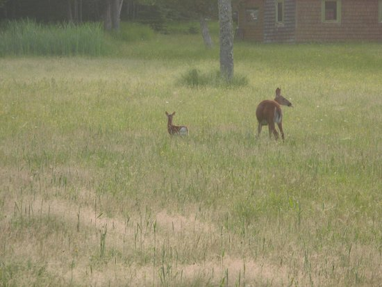 Saint John River Valley : What a treasure seeing the fawn gets its meal from the doe (early morning, Darlings Island)
