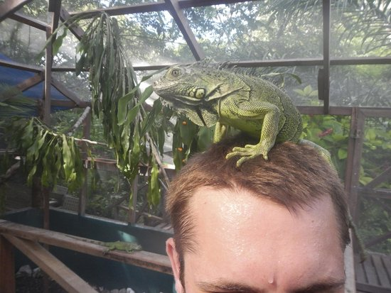 Green Iguana Conservation Project: Chillin