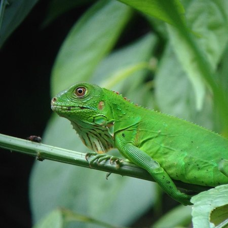 Playa Manuel Antonio: Lizard