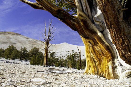 Ancient Bristlecone Pine Forest: Bristlecone Pines--World's Oldest Trees