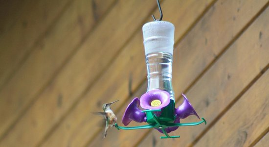 Bear Tracks Whistler Chalet : Migratory hummingbirds at the bird feeder