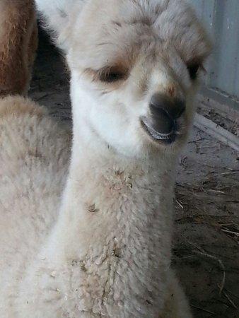 Sugarloaf Alpaca Company