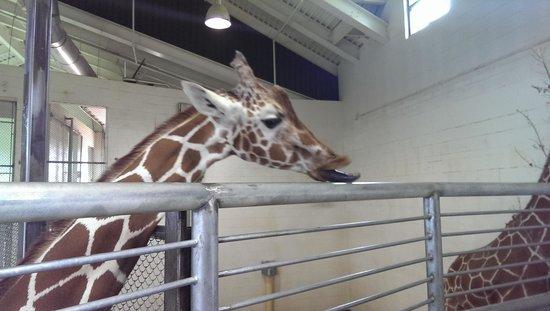 Cheyenne Mountain Zoo: giraffe licking the fence.