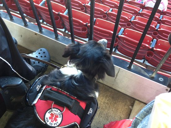 Busch Stadium: My husband's service dog at Busch. She likes loge seating better than field box!