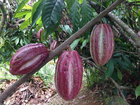 Villa Vanilla / Rainforest Spices: Cocoa