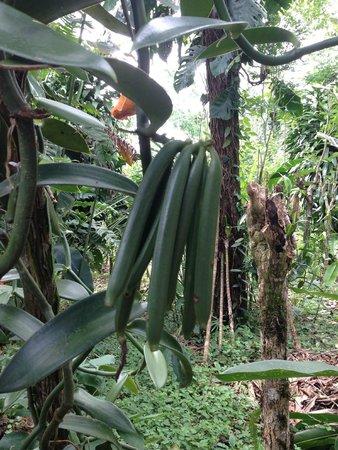 Villa Vanilla / Rainforest Spices: Vanilla beans