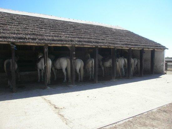 Cabanes de Cacharel: Les beaux chevaux camarguais