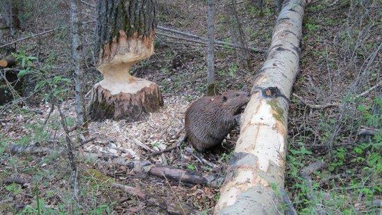 The Beaver Boardwalk: Beaver feeding along boardwalk