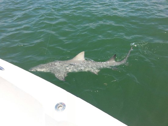Captain Mike Merritt's Native Guide Service: 7 foot 150 pound lemon shark
