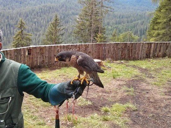 Falconeria Dolomiti: Falco Pellegrino