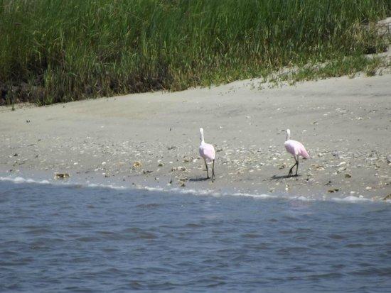 Amelia River Cruises: Roseated spoonbills