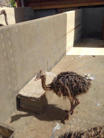Aruba Ostrich Farm: Baby ostrich