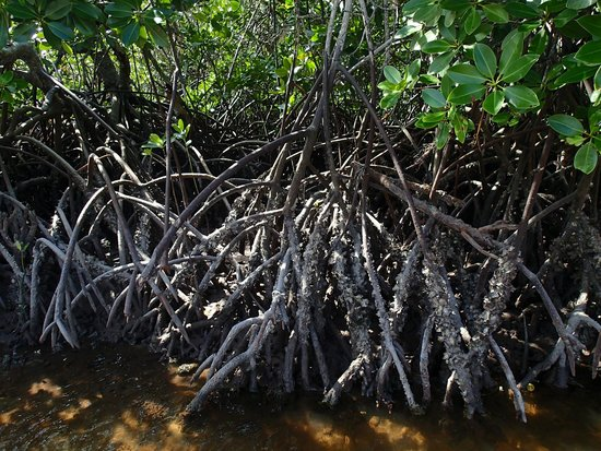 Mida Creek: One of several types of mangrove roots.