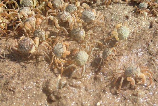 Mida Creek: Soldier crabs en masse
