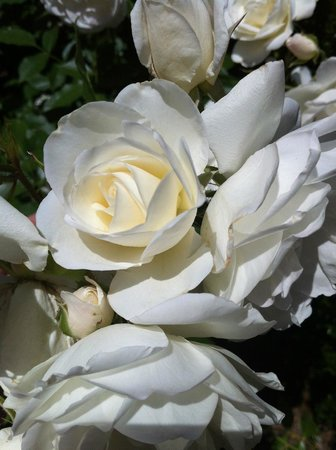 The Cottages of Napa Valley: Beautiful white roses on property