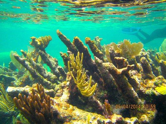 Mayan Beach Garden: elkhorn coral is plentiful here