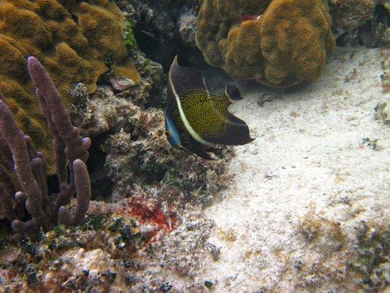 Mayan Beach Garden: Angel fish