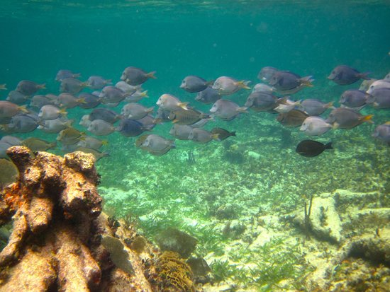 Mayan Beach Garden: schools of blue tang are everywhere, fun to follow them