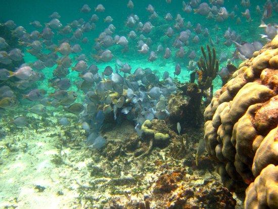 Mayan Beach Garden: More blue tangs