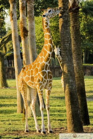 Busch Gardens : Giraffe and Baby hide and seek