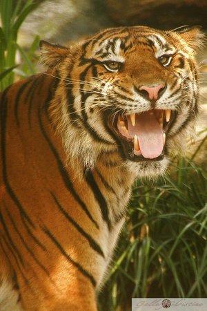Busch Gardens : Roar