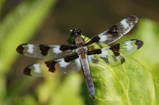 Coastal Maine Botanical Gardens: Dragonflies were everywhere