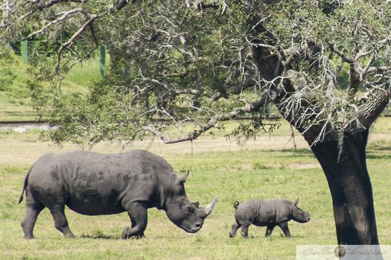 Busch Gardens : Baby Rhino and Mother