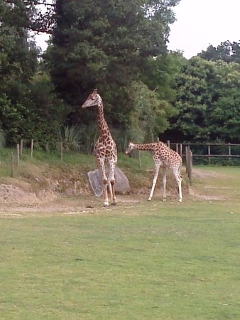 Zoo de Champrepus: Giraffs