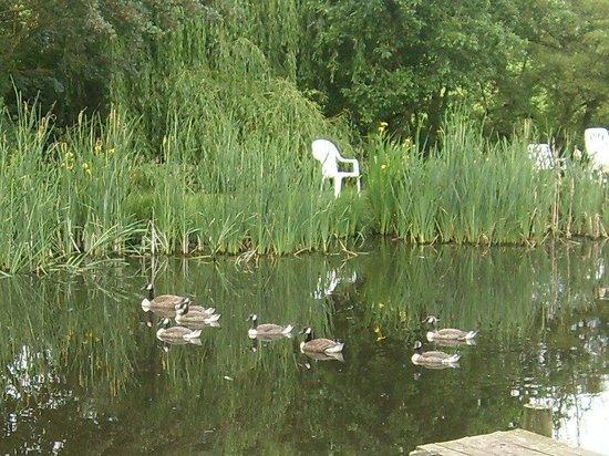 Hall Farm B&B: canada geese on lake