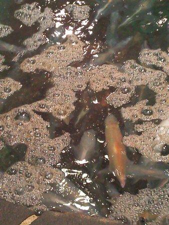 Kawataro, Yobuko Branchi: 13.07.27【河太郎】いけすの烏賊②