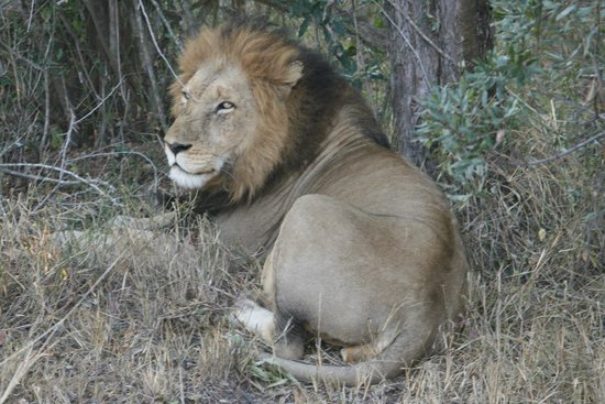Serondella Game Lodge: Lion again