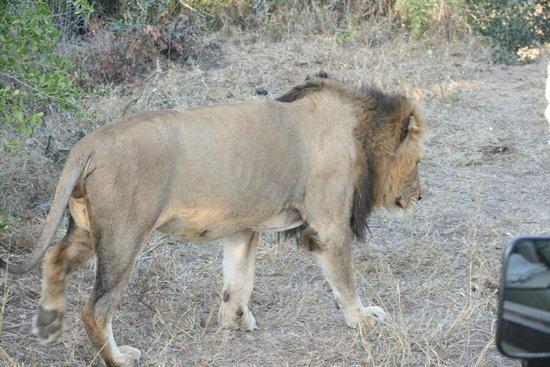 Serondella Game Lodge : Lion