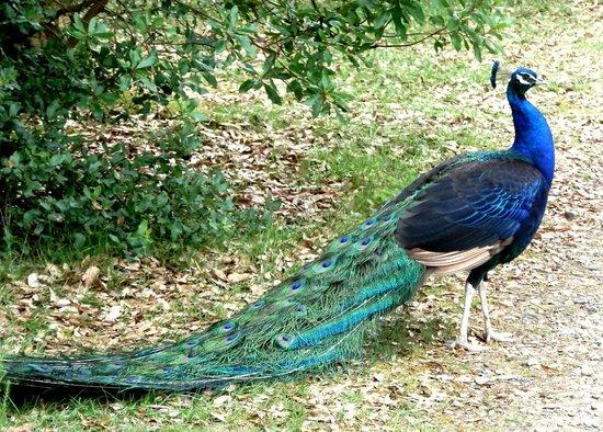 Zoo de Labenne: Paon