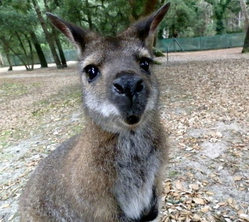 Zoo de Labenne: Kangourou