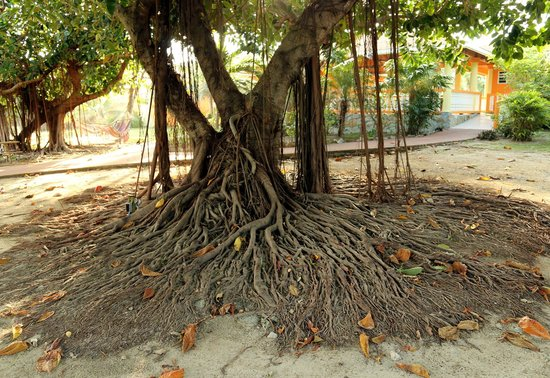 Seagrape Plantation Resort: this cool tree is right in the middle of the resort