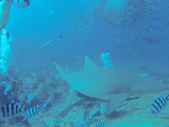 Lalati Resort & Spa : Shark feeding dive