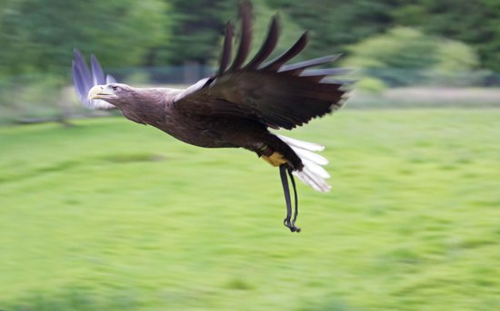 Kielder Water Bird of Prey Centre: Sea Eagle in flight