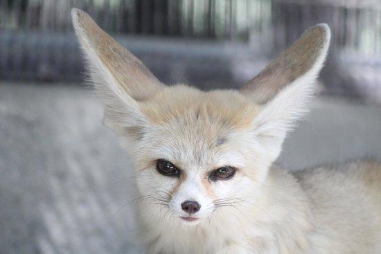 Living Desert Zoo & Gardens: Fennel Fox....