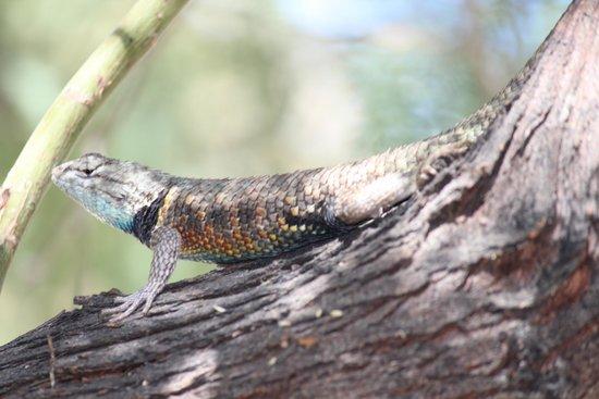 Living Desert Zoo & Gardens: lizards all around!