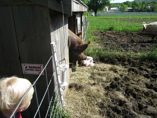 Remick Country Doctor Museum & Farm : Piglets!